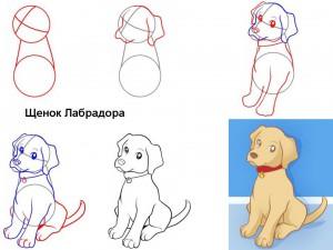 Как нарисовать Щенка Лабрадора