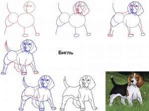Как нарисовать собаку Бигль