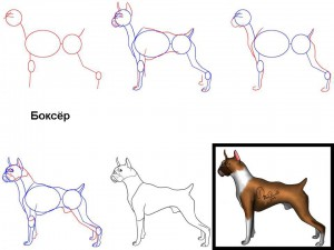 Как нарисовать собаку Боксёр