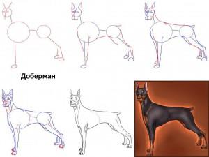 Как нарисовать собаку Доберман