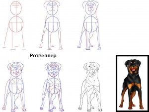 Как нарисовать собаку Ротвеллер