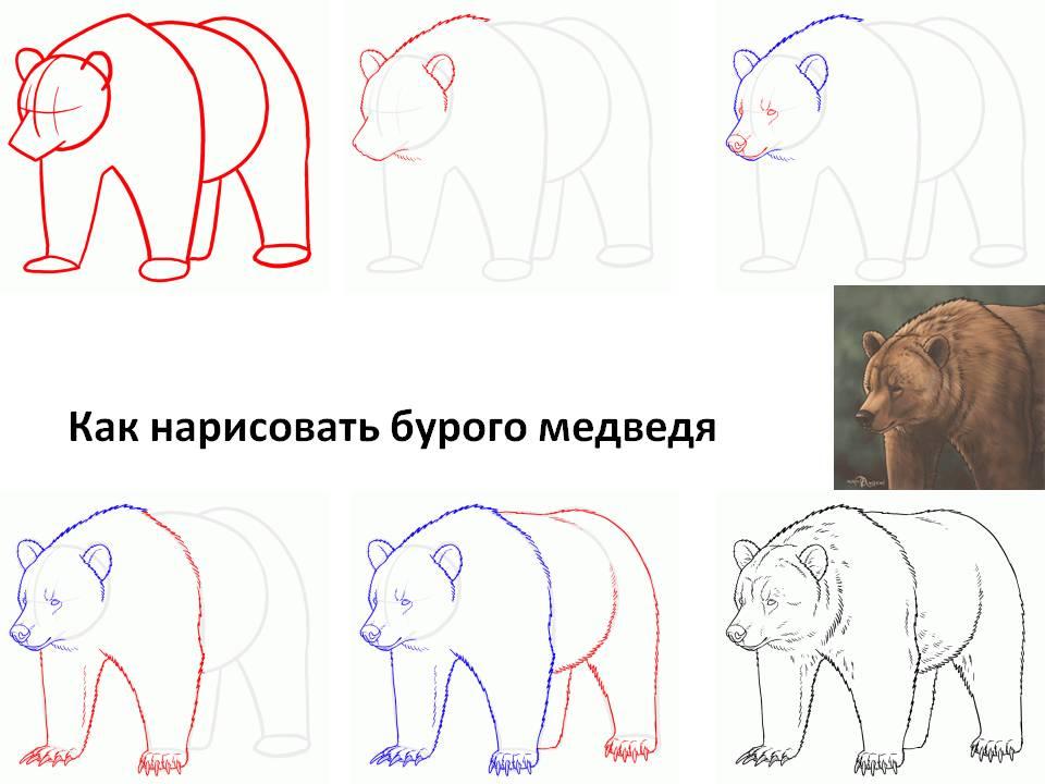 Как нарисовать бурого медведя