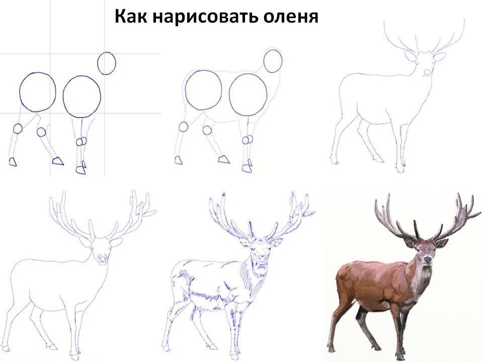 Как нарисовать оленя