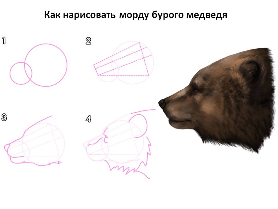 Как нарисовать морду бурого медведя