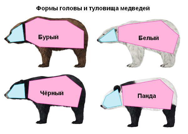 Как рисовать медведя. Формы туловища