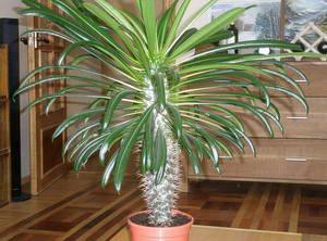 Мадагаскарская пальма
