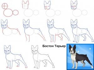 Как нарисовать собаку Бостон терьер