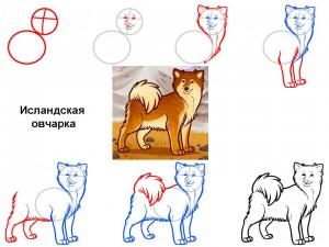 Как нарисовать собаку Исландская овчарка
