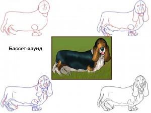 Как нарисовать собаку Бассет-хаунд