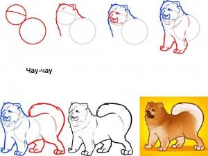 Как нарисовать собаку Чау-чау