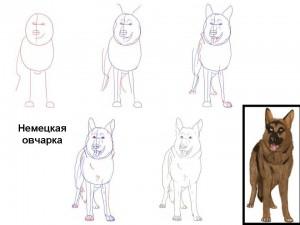 Как нарисовать Немецкую овчарку