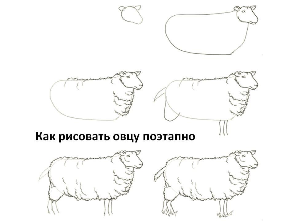 Как рисовать овцу поэтапно